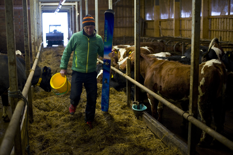 Farmer Tore has to feed the cows before heading out...